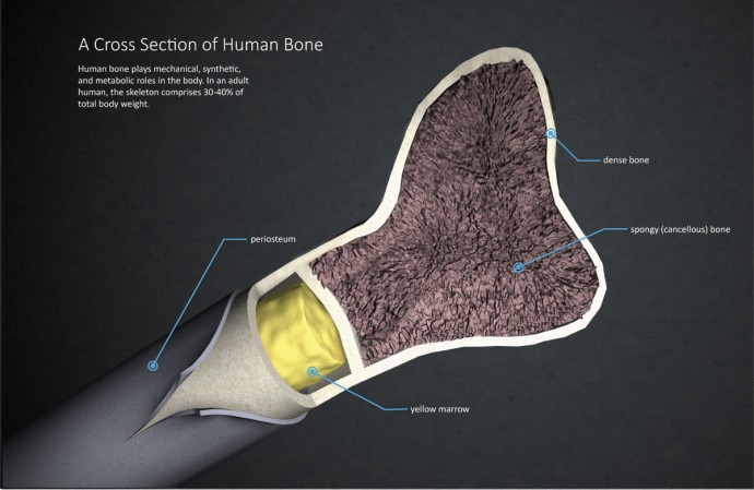 Infographic showing a cross section of human bone